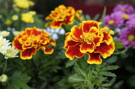 Different-Colorsof-Marigolds