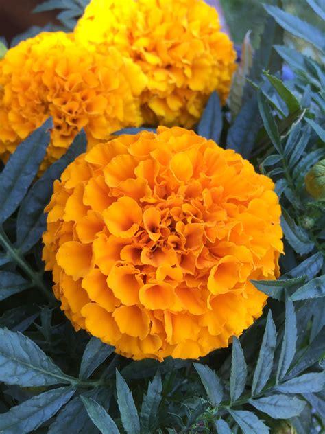 Dwarf-FrenchMarigold-Flowers