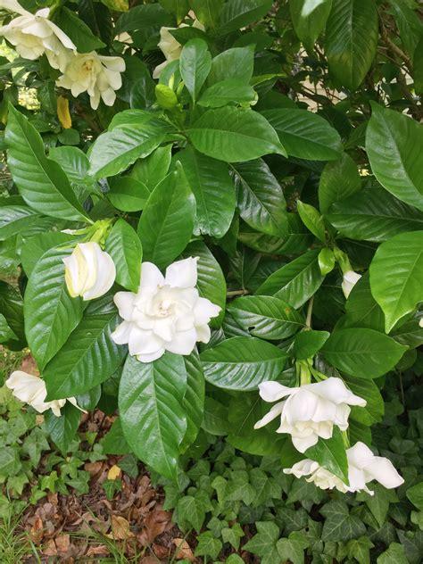 Gardenia-PlantsOutdoors