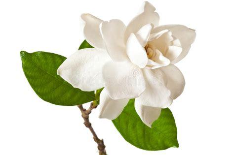 GardeniaBlossom