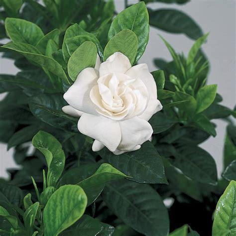 GardeniaBushes