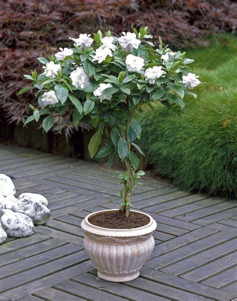 GardeniaTree-Care