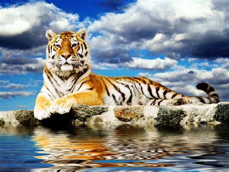 Majestic Tiger Wallpaper