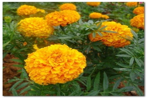 Marigold-Flower-Colors