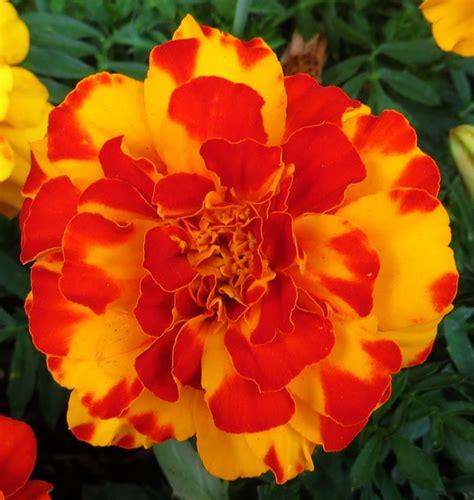 Marigold-FlowerBouquet