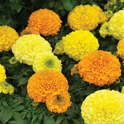 Marigold-FlowerGardens