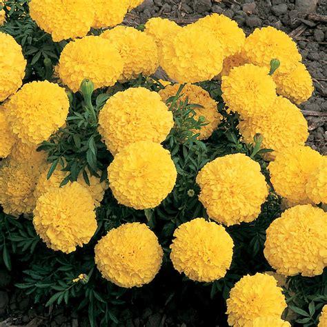Marigold-FlowerSeeds