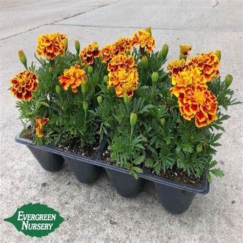 MarigoldAnnual-Flowers