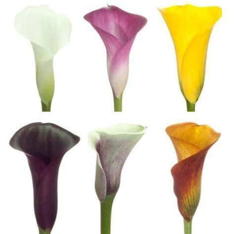 MiniCalla-Lilies