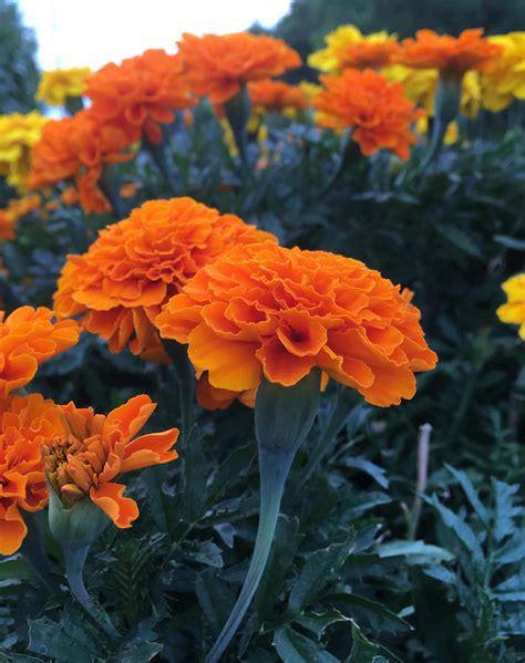 Most-BeautifulMarigold-Flowers