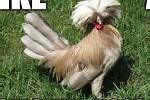My Username Chiken Boss