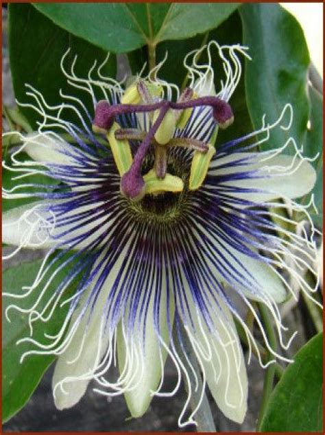 Passion-FlowerClematis-Vine