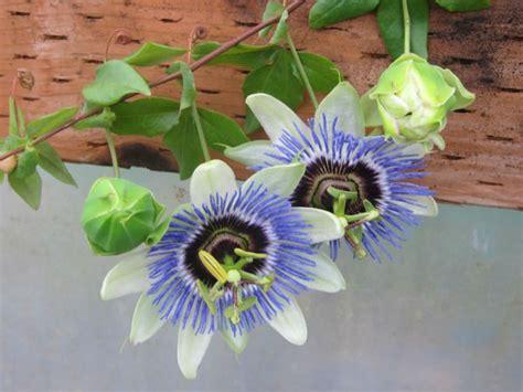 Passion-FlowerSeedlings
