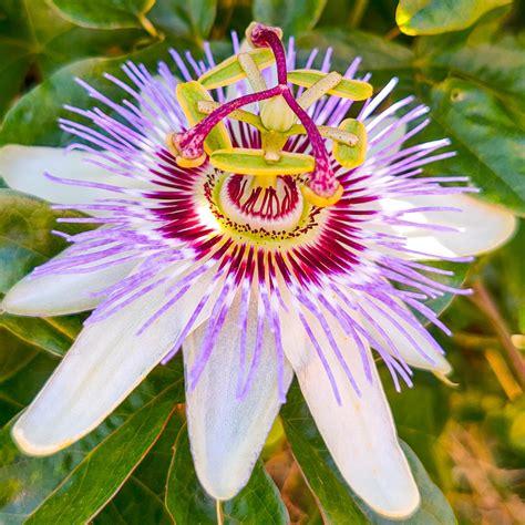 Passion-FlowerVarieties