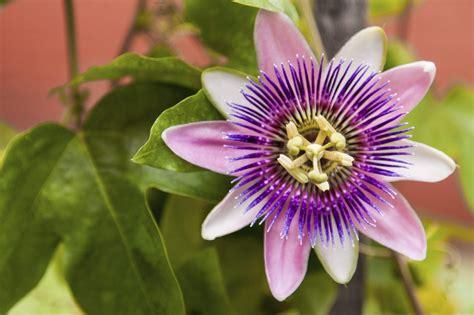 Passion-FlowerVine-Types