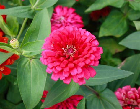 PinkMarigold-Flowers