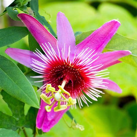 PinkPassion-Flower