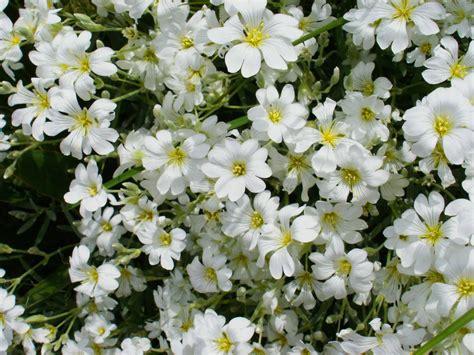Pretty-WhiteFlowers