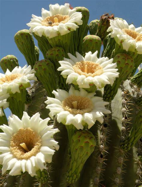 Saguaro-CactusFlowers-Blooming