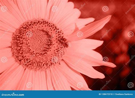 SunflowerCoral