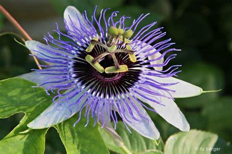TennesseePassion-Flower