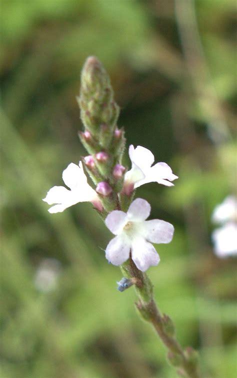 VervainBach-Flower