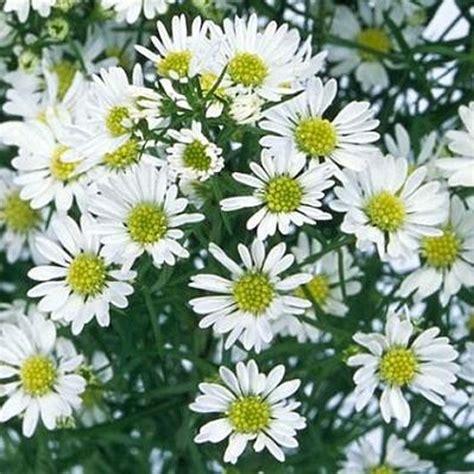 White-AsterFlower