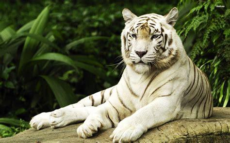 White Tiger Desktop Backgrounds