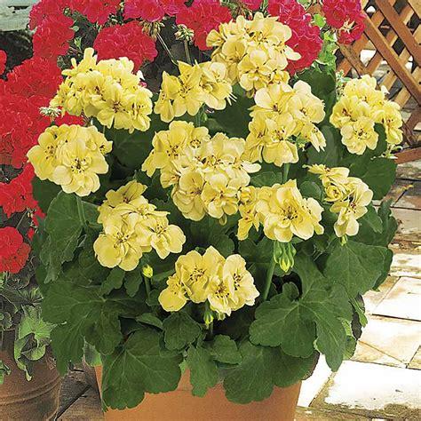 Yellow-PerennialGeranium