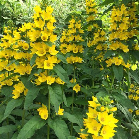 Yellow-SpikyFlower