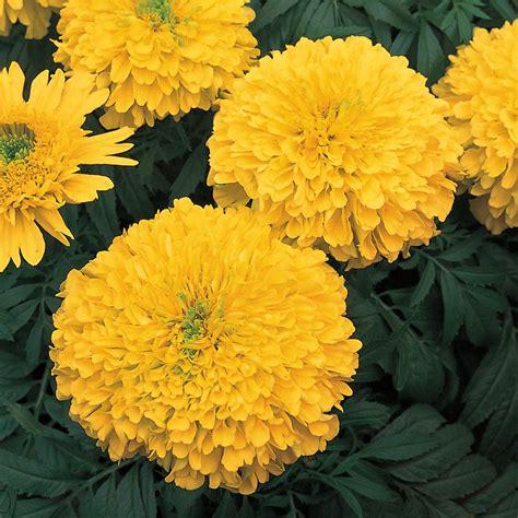 YellowMarigold-Flowers