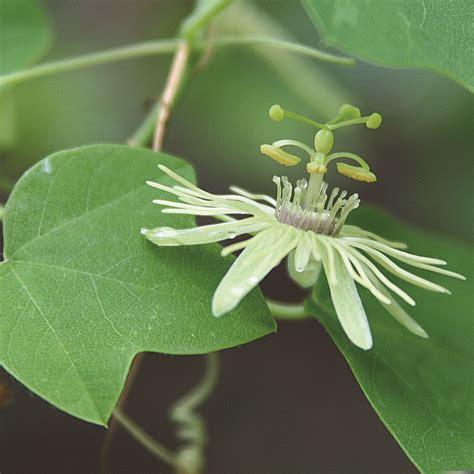 YellowPassion-Flower